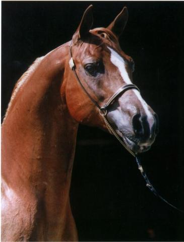 لعشاق الخيول / اجمل الخيول العربية 24424610