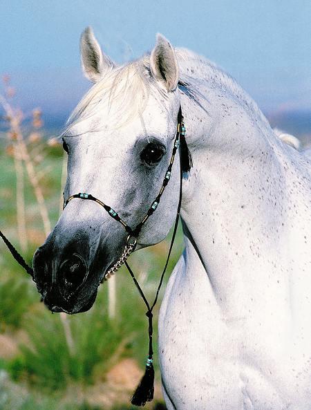 لعشاق الخيول / اجمل الخيول العربية Manass10