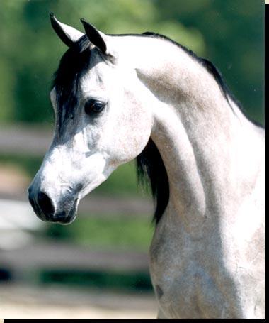 لعشاق الخيول / اجمل الخيول العربية Saheeb10