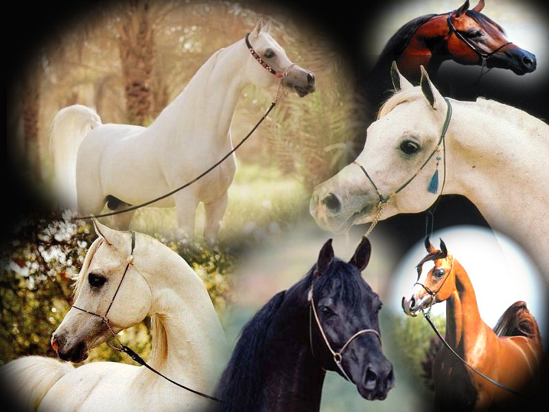 لعشاق الخيول / اجمل الخيول العربية Untitl11