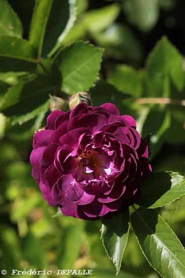 Le rosier de Brunnera 5d_09210