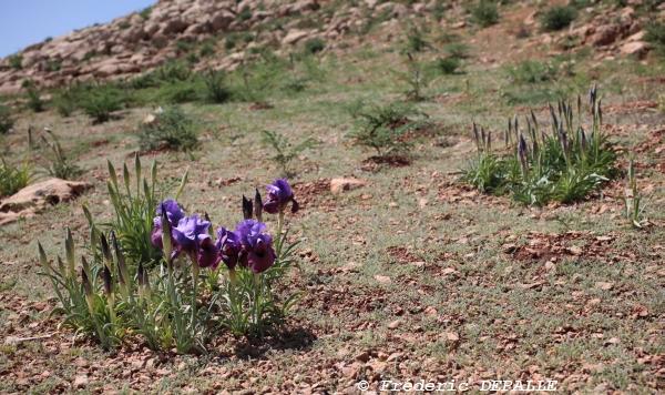 Oncocyclus ( et quelques bulbes ) en Syrie - Page 2 5d_09810