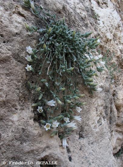 Oncocyclus ( et quelques bulbes ) en Syrie - Page 2 Campan10