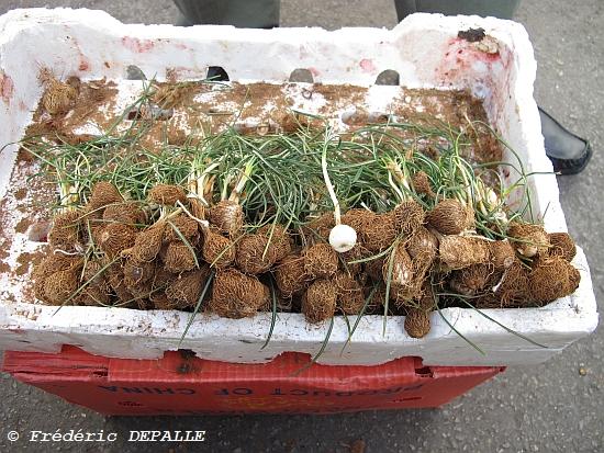 Oncocyclus ( et quelques bulbes ) en Syrie Img_1511