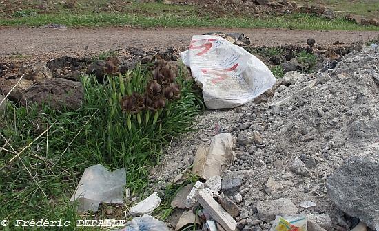 Oncocyclus ( et quelques bulbes ) en Syrie Iris_b11