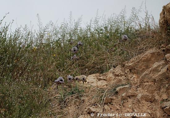Oncocyclus ( et quelques bulbes ) en Syrie Iris_d11