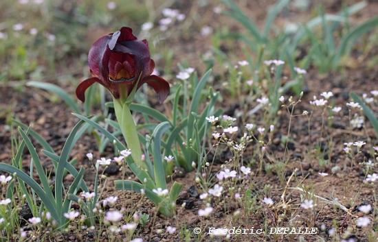 Oncocyclus ( et quelques bulbes ) en Syrie Iris_s10