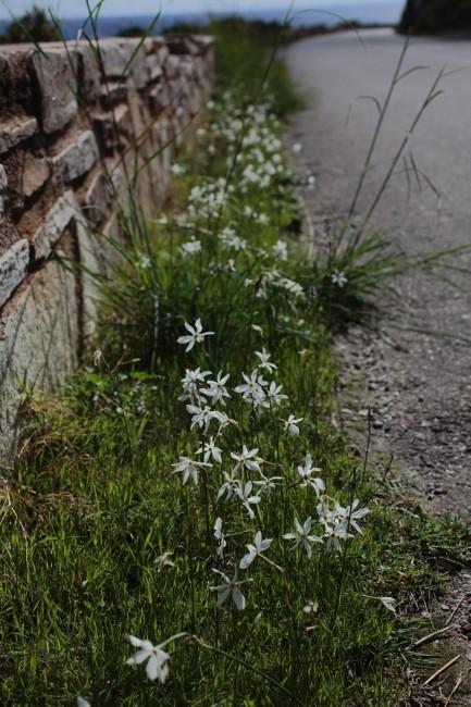 Automne en corse Narcis10