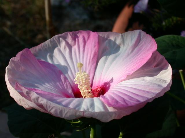 Mes hibiscus et moi...une longue histoire Dscn8610