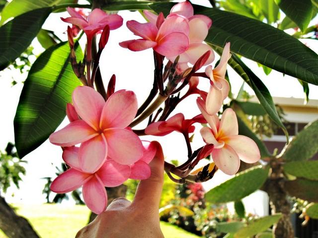 Plantes de Martinique Img_0031
