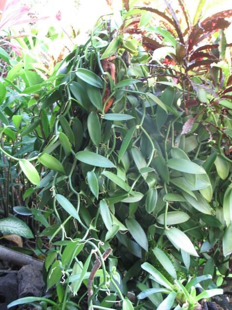 Plantes de Martinique Img_0033