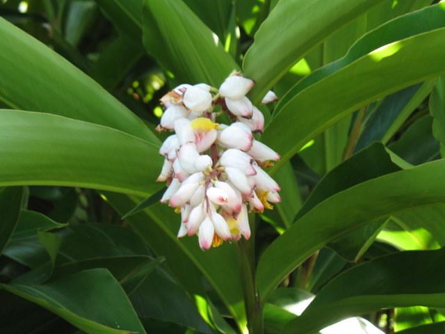 Plantes de Martinique Img_0036