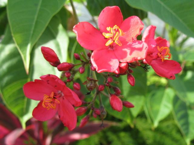 Plantes de Martinique Img_0037