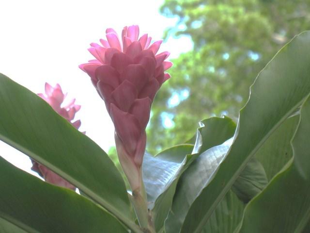 Plantes de Martinique Img_0038