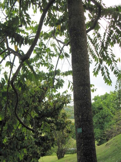 Plantes de Martinique Img_0040