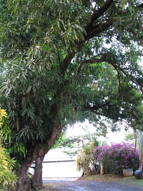 Plantes de Martinique Img_0041