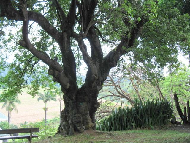 Plantes de Martinique Img_0042