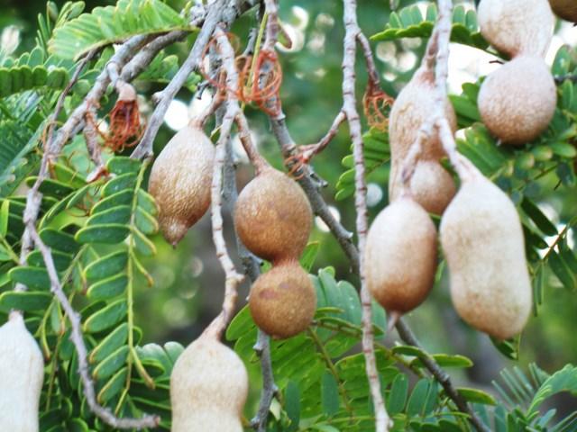 Plantes de Martinique Img_0043