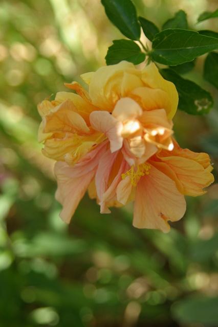 Mes hibiscus et moi...une longue histoire Imgp2211
