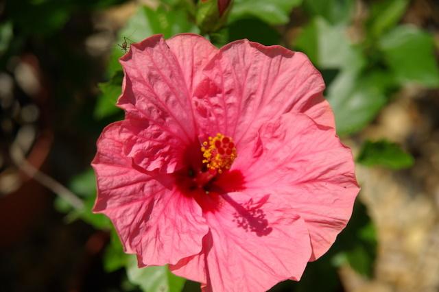 Mes hibiscus et moi...une longue histoire Imgp2213