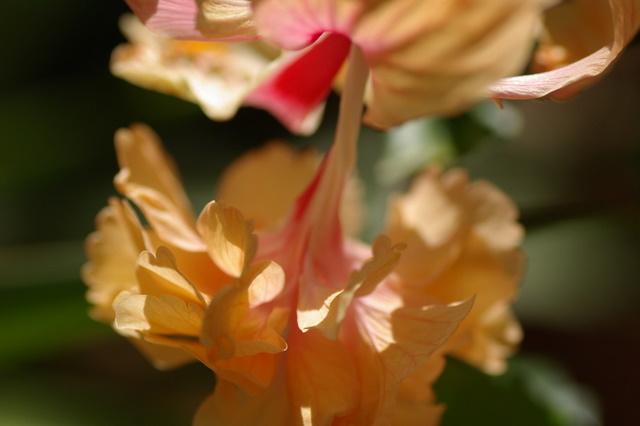 Mes hibiscus et moi...une longue histoire Imgp2214