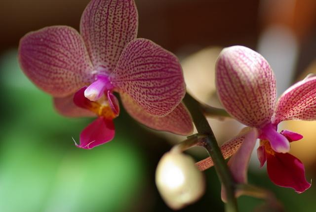 floraisons des orchidées Imgp2215