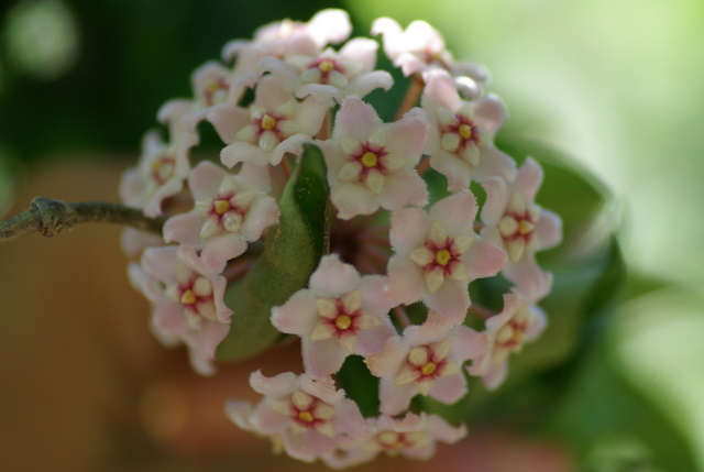 les hoyas ou fleurs de porcelaine Imgp2216