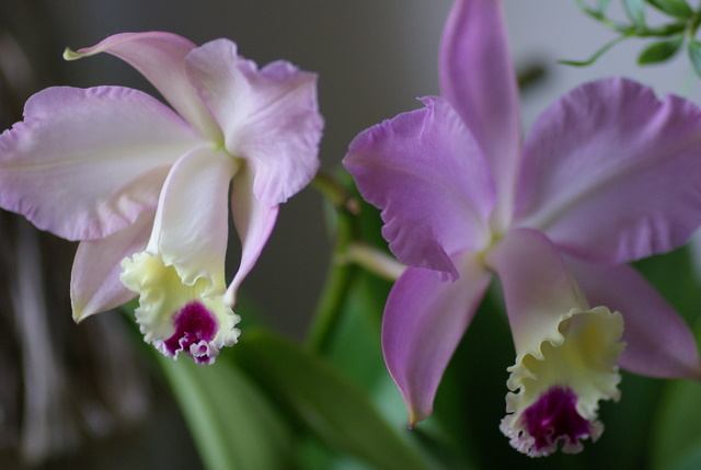 floraisons des orchidées Imgp2418