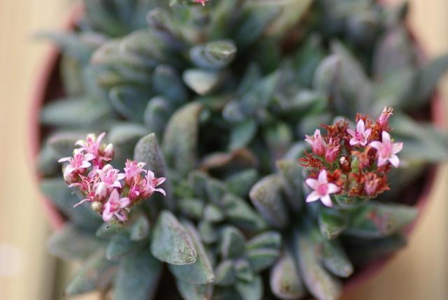 Floraisons de succulentes et cactées Imgp2420