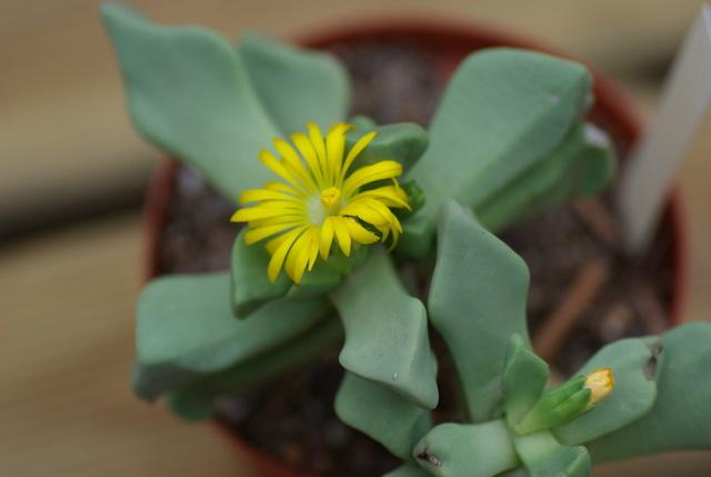 Floraisons de succulentes et cactées Imgp2425