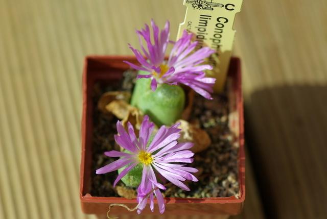 Floraisons de succulentes et cactées Imgp2427