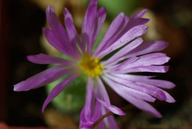 Floraisons de succulentes et cactées Imgp2428