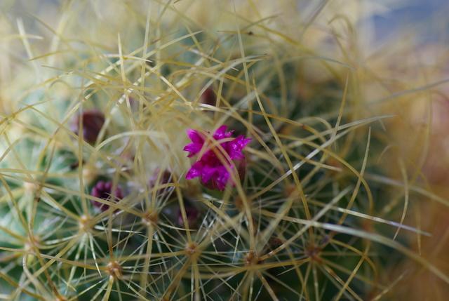 Floraisons de succulentes et cactées Imgp2429