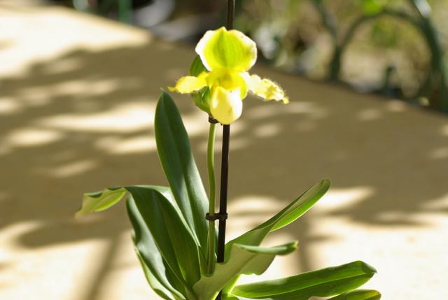 floraisons des orchidées Imgp2443