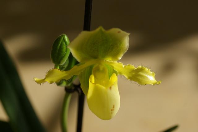 floraisons des orchidées Imgp2444