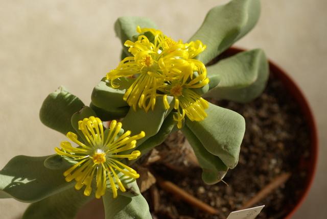 Floraisons de succulentes et cactées - Page 2 Imgp2448