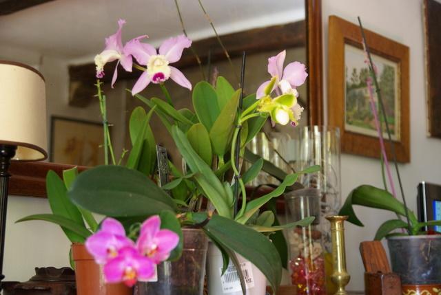 floraisons des orchidées Imgp2451
