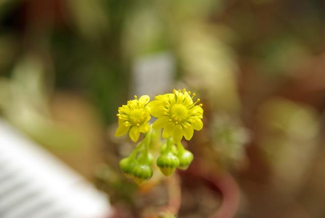 Floraisons de succulentes et cactées - Page 6 Imgp3017