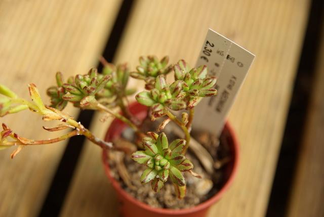 Floraisons de succulentes et cactées - Page 6 Imgp3018
