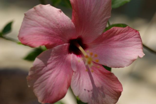 Mes hibiscus et moi...une longue histoire - Page 3 Imgp3128