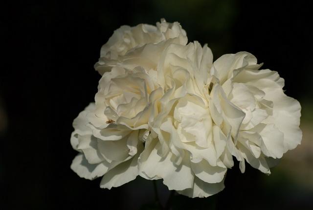 Floraisons du mois de juin Imgp3247