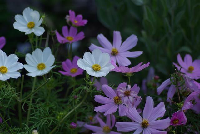 Floraisons du mois de juin Imgp3248