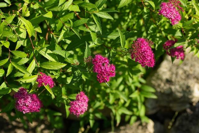 Floraisons du mois de juin Imgp3249