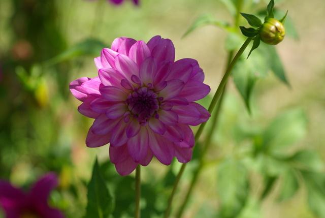 Les dahlias. Photos et disscusions. Imgp3347