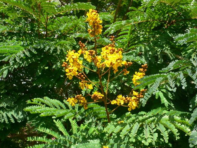 Plantes de Martinique P1020513