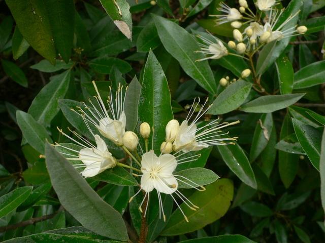 Plantes de Martinique P1020514