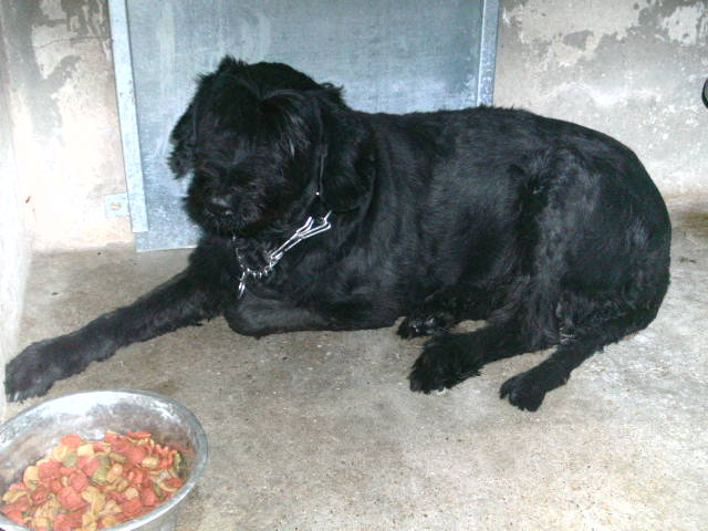 femelle schnauzer geant 5/6 ans a bethune. Died10