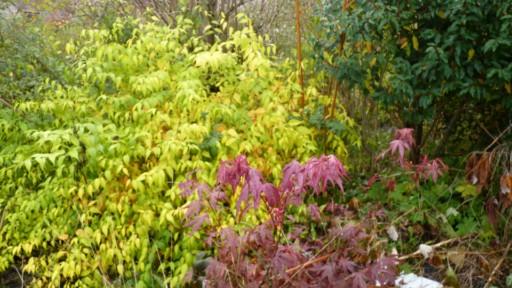 Corete a fleurs simple Couleu36