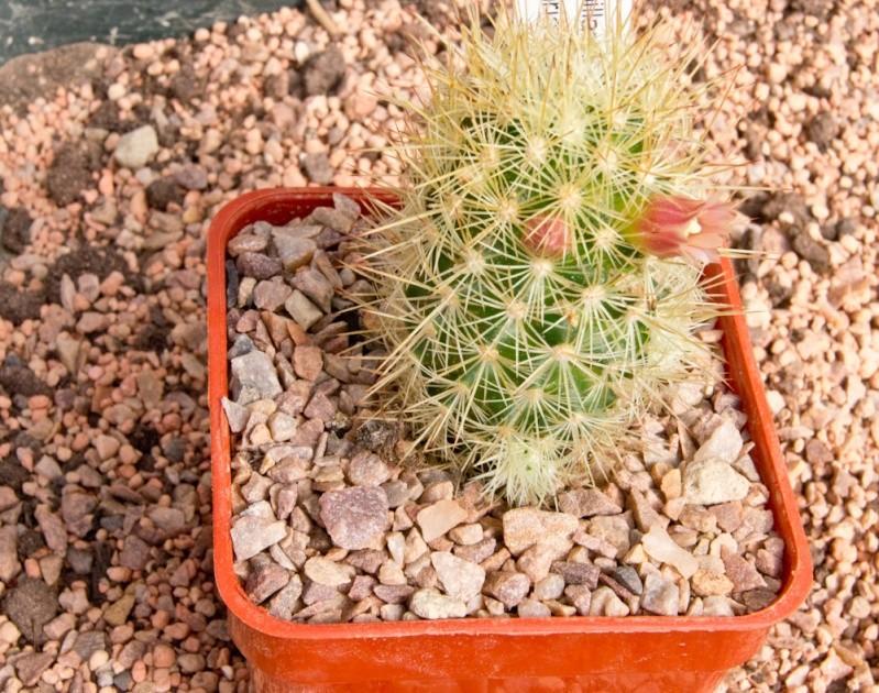 Mammillaria elongata echinaria Dsc01612