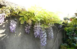 jardin de printemps Glycin10